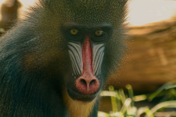 Animal Head  Animal Themes Animals In The Wild Baboon Close-up Day Looking At Camera Mammal Mandril Monkey Nature No People One Animal Outdoors Portrait Primate
