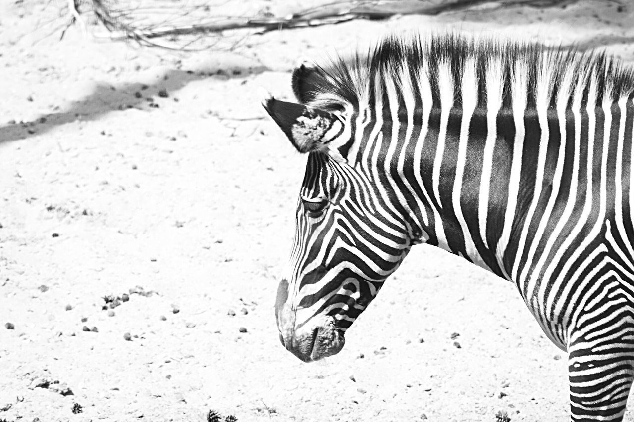 Striped One Animal Animal Themes Animal Wildlife Zebra Mammal Day Animal Markings Outdoors Safari Animals Nature No People Close-up EyeEm Best Shots Animal Photography Blackandwhite Black And White Blackandwhite Photography Black And White Photography Wildlifephotography Wildlife Photography EyeEm Best Shots - Nature Beauty In Nature Nature Photography Eye4photography