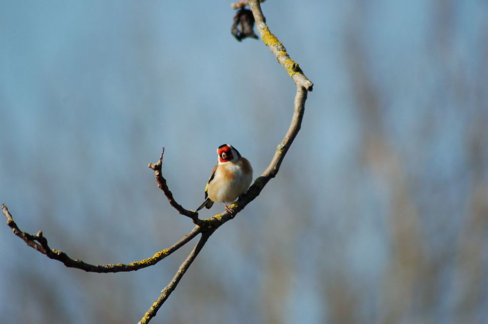 Animal Animal Themes Avian Beauty In Nature Bird Close-up Day Focus On Foreground Goldfinch Nature No People Outdoors Perching Selective Focus Sky Stieglitz Tranquility Twig Wildlife Südbaden Müllheim