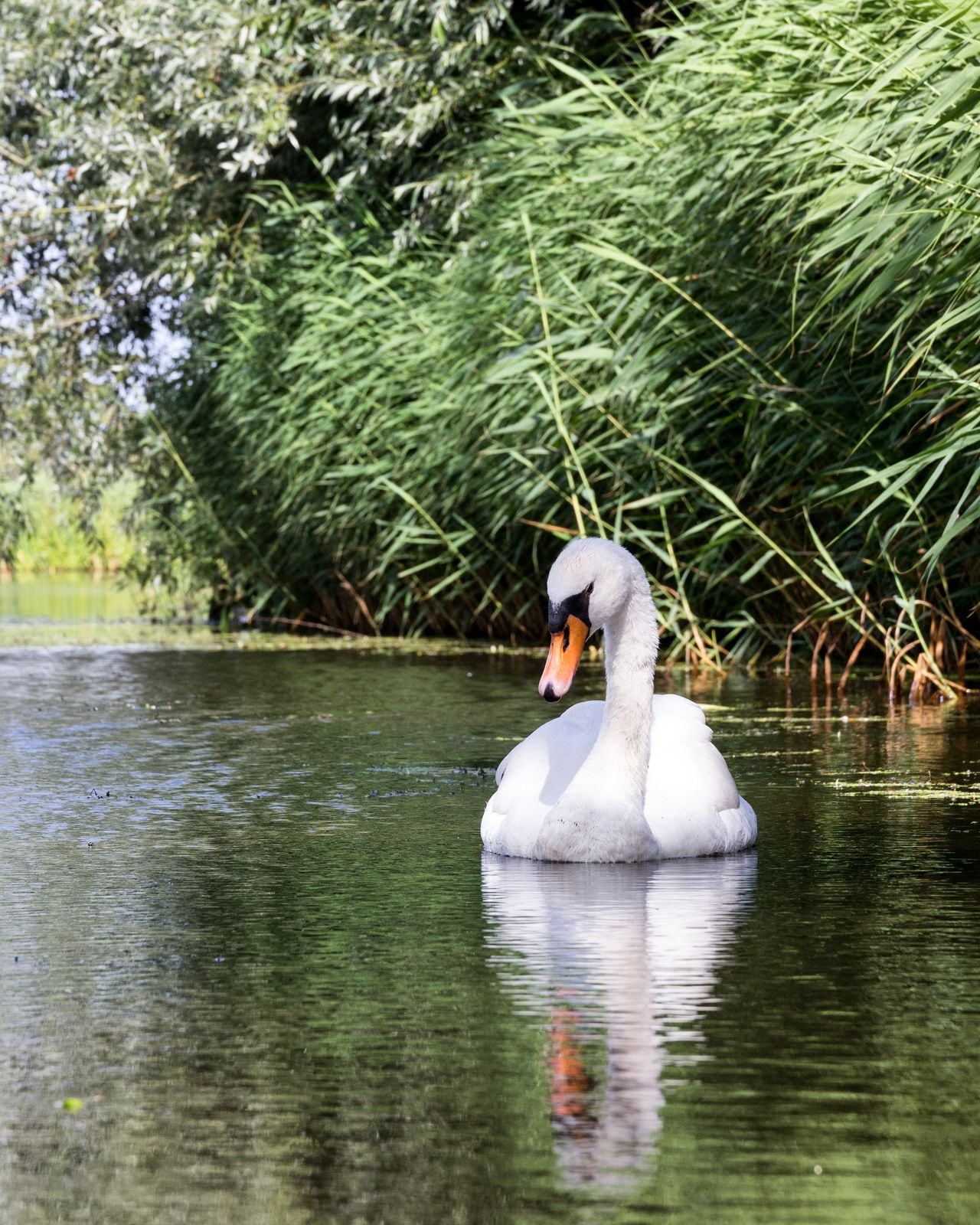 Water Lake Nature Day One Animal Outdoors Swimming Beauty In Nature Animals In The Wild Animal Themes No People Bird Swan