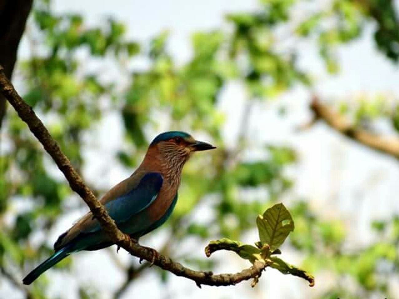 Indian Roller Nature Bird Photography Birdwatching 👀 Hello Nature Loving Nature Masinagudi India Travel Photography Nature_collection