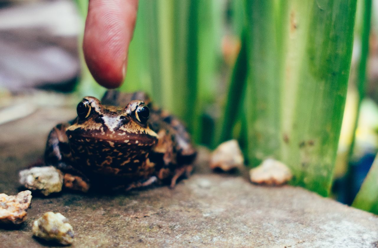 You don't dare! This is one of eight little frogs that are living in our garden in Oldenburg/Germany/Lower Saxony. Nature On Your Doorstep EyeEm Best Shots Nature Garden Frogs Frog Secret Garden The Moment - 2015 EyeEm Awards Pets Corner Maximum Closeness