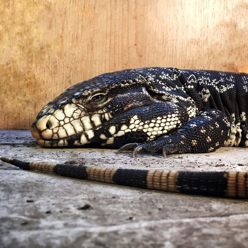 Black and white tegu Reptile One Animal Close-up Lizard Reptile Pet Photography  Pets Lizards EyeEmNewHere