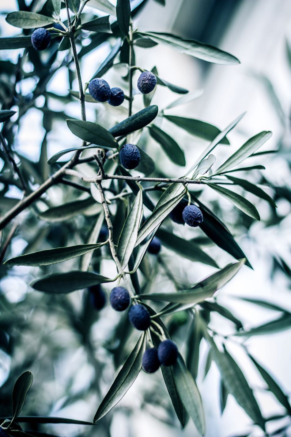 Olive Olive Tree Olives Leafs Olives Tree Outside Leafs Close-up Nature Growth Outdoors Beauty In Nature Freshness