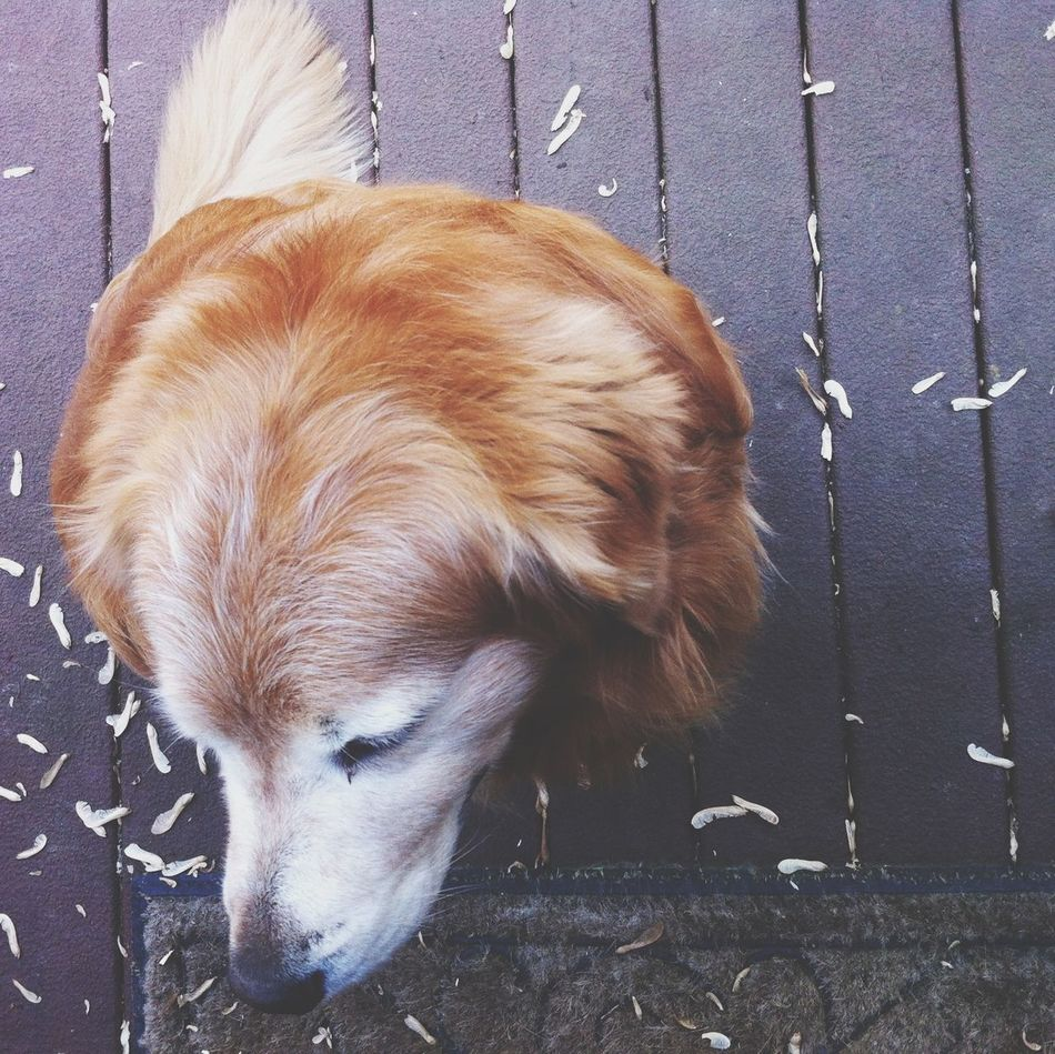 Beautiful stock photos of golden retrievers, Animal, At Camera, Attention, Breed