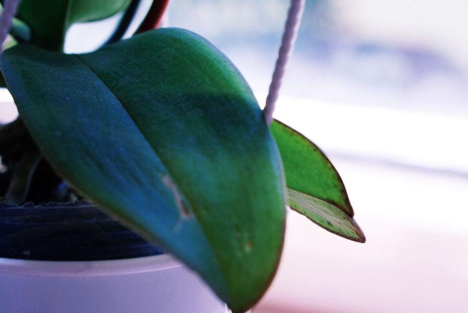 Leaf Green Orchid Leaf