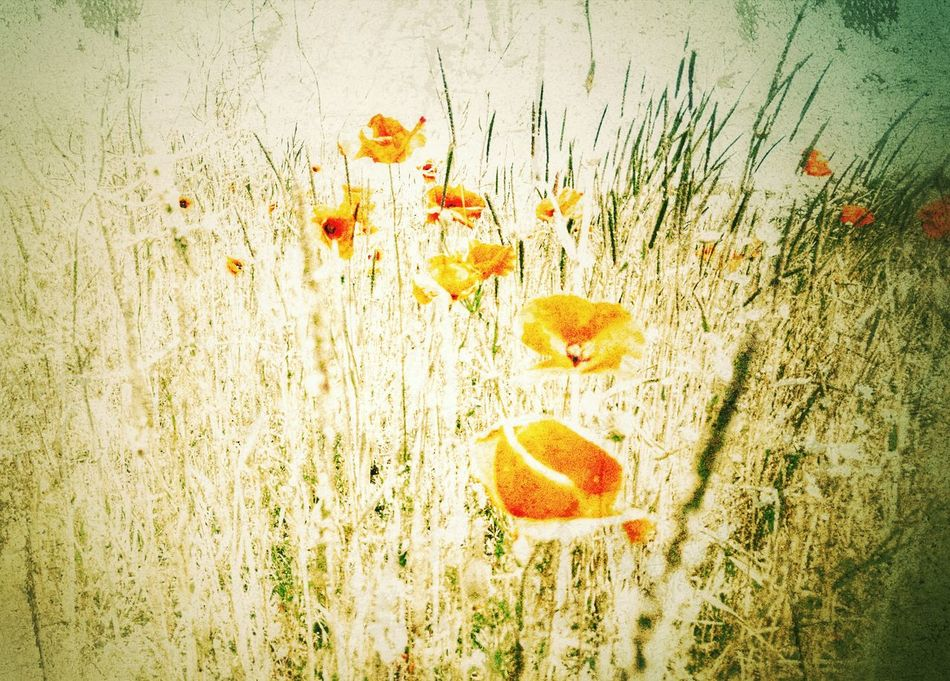 Grunge Style Grunge Art Poppies In Bloom Poppies  Filtered Image Overgrown