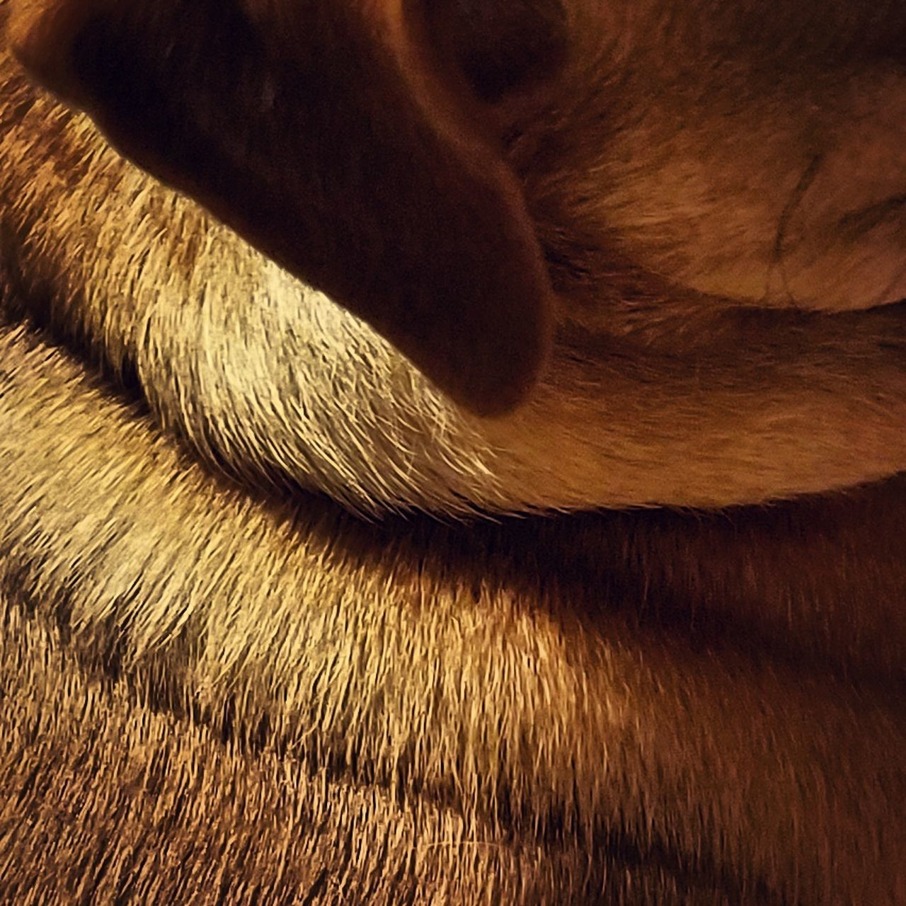 Ruby's Wrinkles Ruby Wrinkles Fur Dog Puppy Neck Animal Textured  Hair Close-up Brown Sunlight Canine Pet Pet Photography  Profile Ear Whiskers Dogear