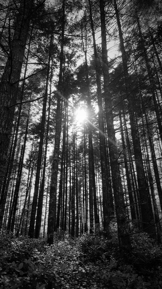 Abundance Back Lit Beauty In Nature Black & White Day Forest Growth Idyllic Landscape Lens Flare Nature No People Non-urban Scene Outdoors Scenics Sky Sun Sunbeam Sunny Tall - High Tranquil Scene Tranquility Tree Tree Trunk WoodLand