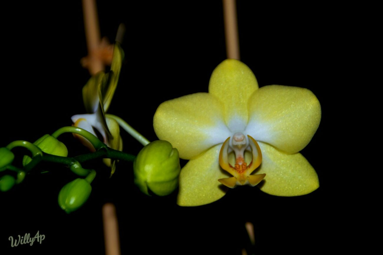 Flower_Collection Flowerphotography Flower Photography Flower Collection EyeEm Best Shots - Nature EyeEm Nature Lover Naturelover Nature_perfection Nature Photography Light And Shadows Light And Shadow Nature_collection Natur Pur Nature FlowerYellow Orchid Orchidee Orchidee.