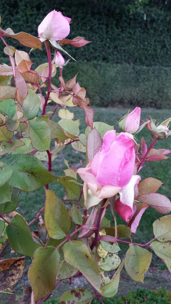 Rose D'automne Autumn Colors