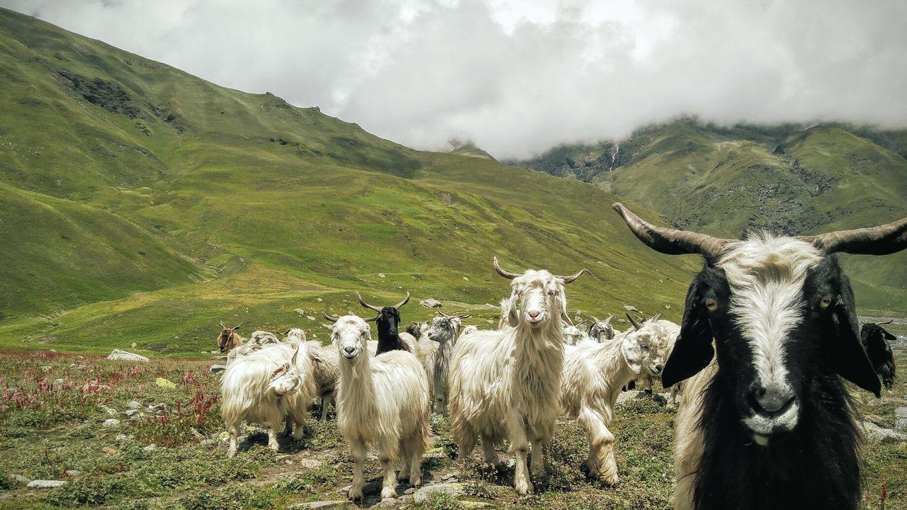 Kara,Bhaba Valley Himalayas Goats Staring At Me Mountains Herd Of Goats Staring