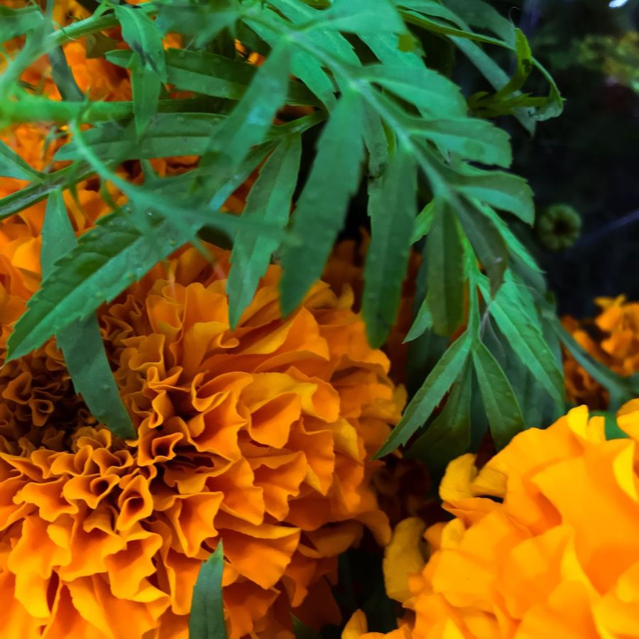 The signs of autumn Marigolds Flower Photography Ringelblume Ringblomma Blumen Blommor Signs Of Autumn Orange Color Herbst Höst Flower Beauty In Nature Leaf Green Color Close-up Flower Head Blooming