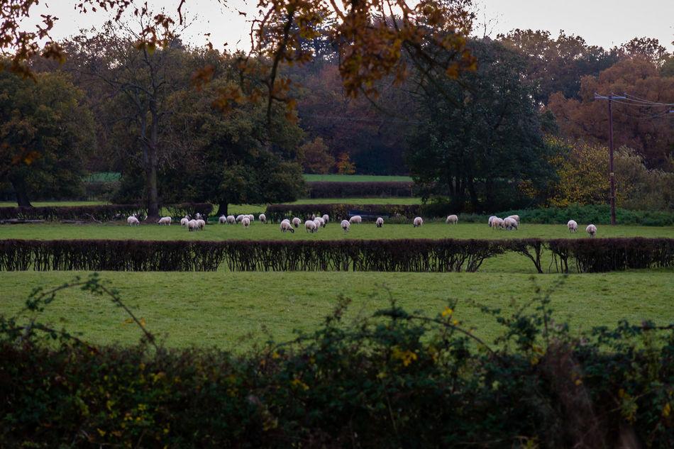 Animal Themes Autimn Day Field Outdoors Scenics Sheep Sky Tree