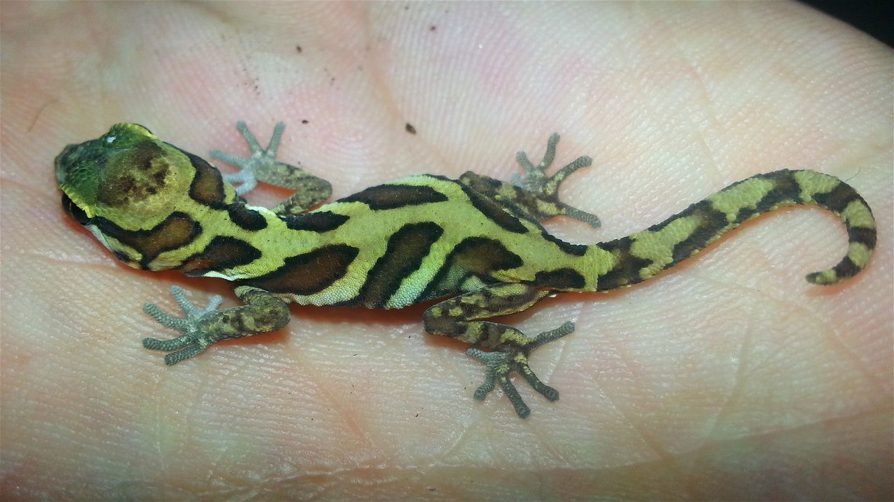 2017-07-06: Leaders of 20 states (like Trump, Putin etc) come to Hamburg to see the new life that is born today: Paroedura picta baby. PICTA Baby Baby Animal Close-up Reptile GECKOzilla Jurassic World Of Dino's Dino's Photography Jurassic World God's Beauty Exotic Especially Babies Only Born To Be Beautiful New Life Starts Now ♥ Real Life Baby Photography Gecko Art Madagascar  Special Shot Madagascar Gecko New Life.... New Life Begins Exotic Animals Special_shots