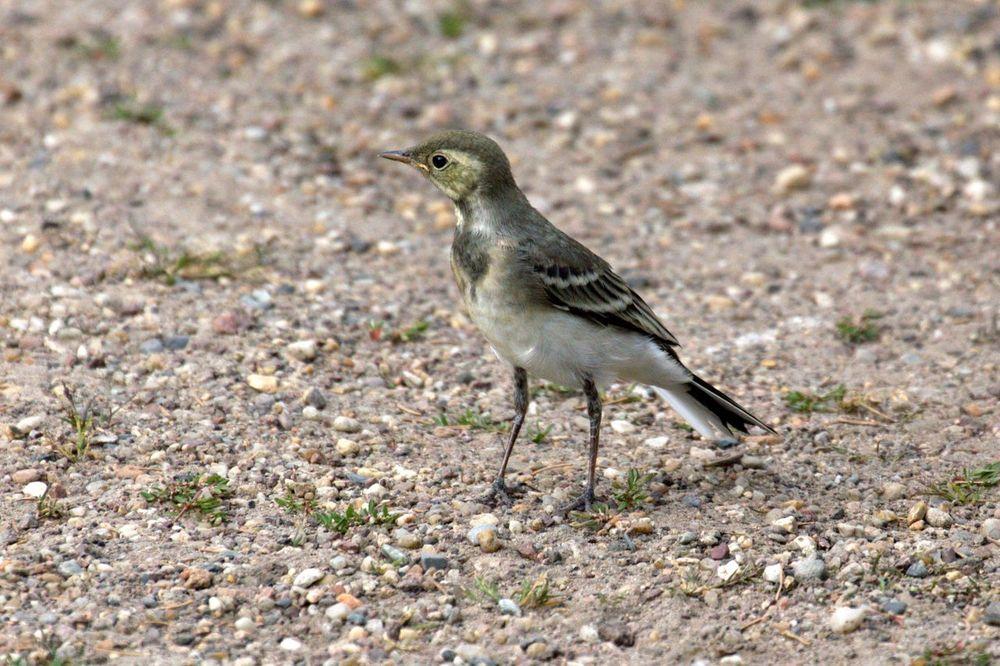 Motacilla Flava Bergeronnette Printanière Ornithology  Bird Wagtail Western Yellow Wagtail