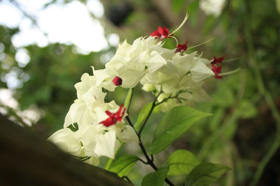 White&red Beauty In Nature Flower Nature Red Blossom Flower Head White Colors Canon😉 Thailand🇹🇭