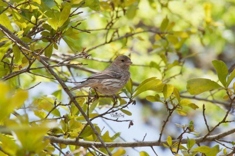 Female house finch Finch Bird