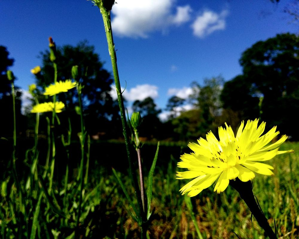Hello Sun Morning Stretch Open For Business Just Dandy Cluster Of Flowers Yellow Flowers Dandelions Wildflowers Reaching For The Sun Stretch Blooming In Bloom Art Is Everywhere Break The Mold The Great Outdoors - 2017 EyeEm Awards Florida