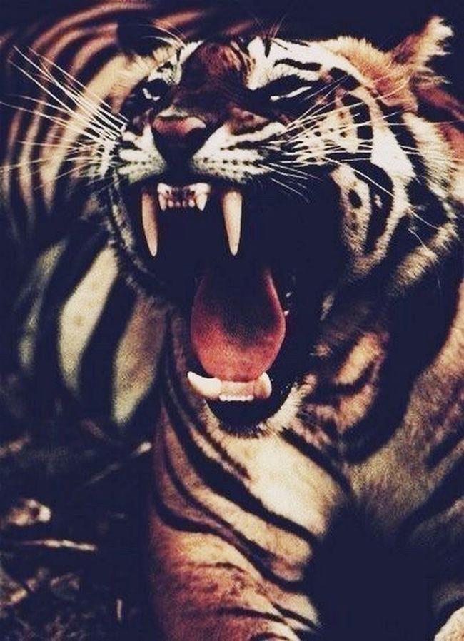 тигр хищник клыки