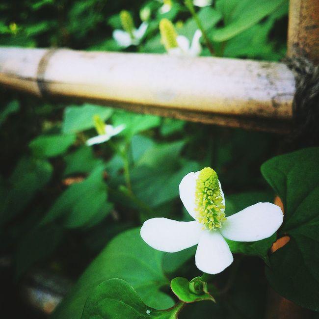 どくだみは臭いし何処にでも咲くけど カメラのレンズ越しに丁寧に覗いてみると影に浮かび上がる白い花はとてもキレイ Picking Flowers  Enjoying The Sun Enjoying Life