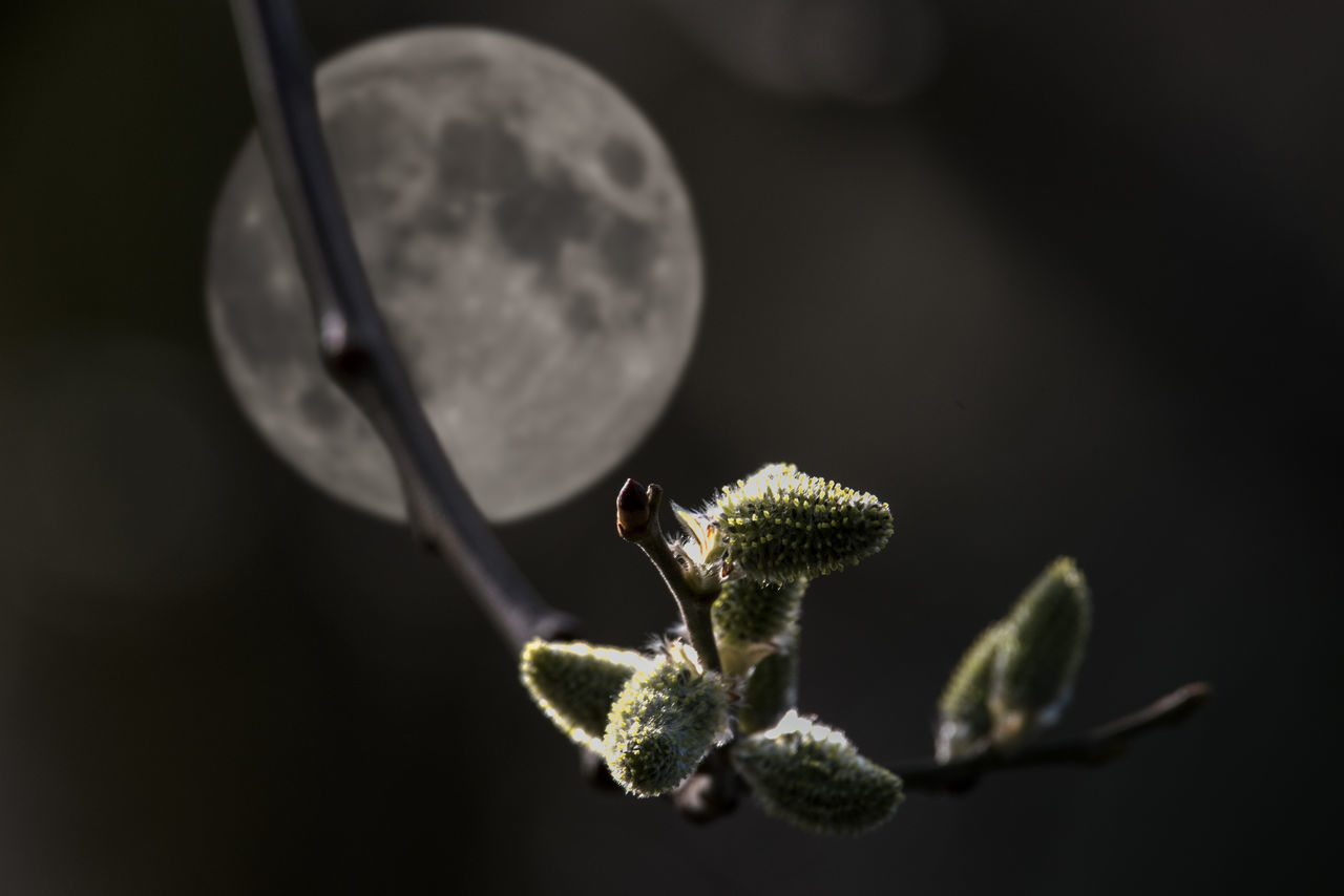 Third attempt - more thoroughly photoshopping Beauty In Nature Catkins Close-up Day Focus On Foreground Freshness Full Moon Growth Montage Photography Nature No People Outdoors Plant Twig