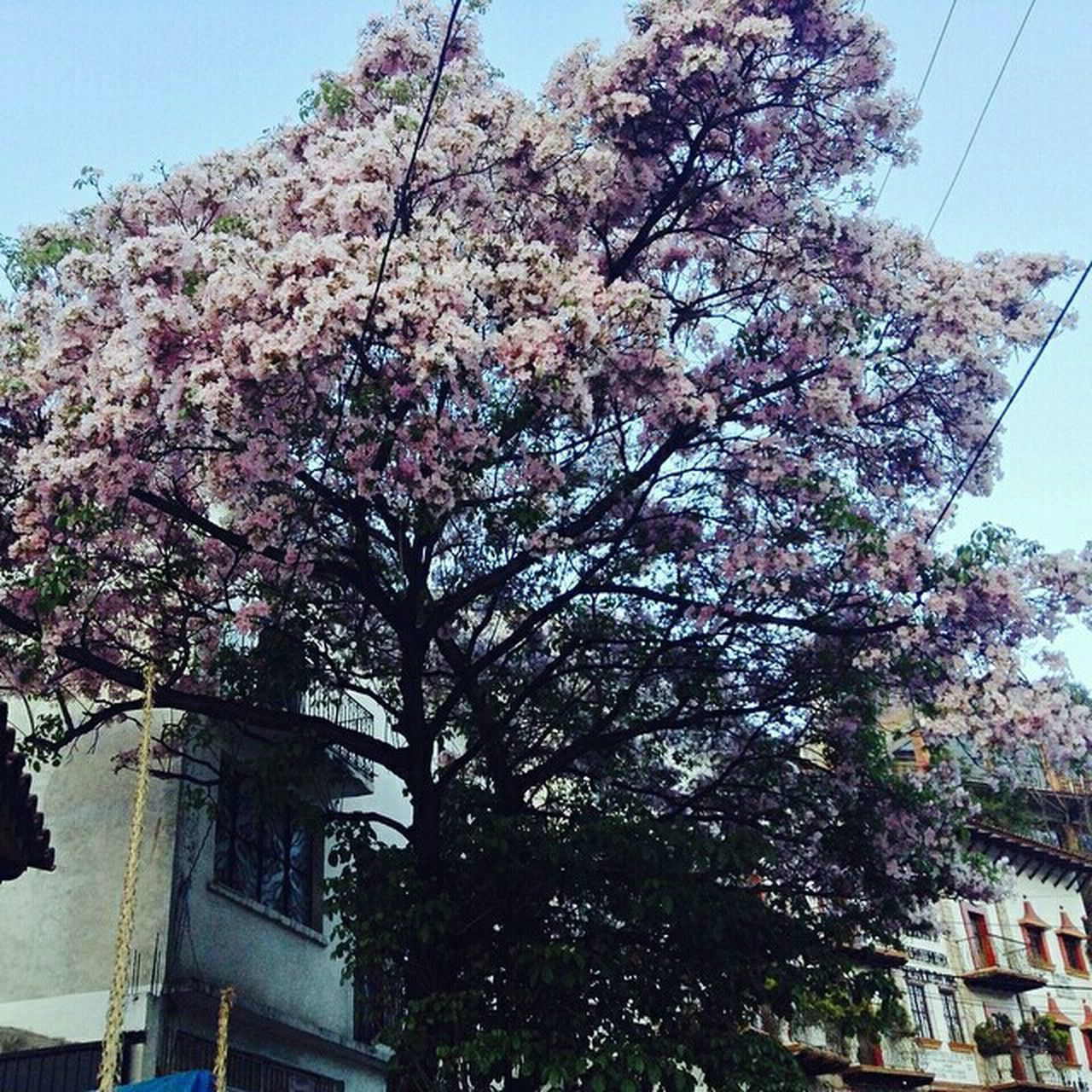 tree, growth, flower, low angle view, blossom, no people, day, sky, nature, branch, beauty in nature, outdoors, fragility, architecture, built structure, springtime, building exterior, freshness, clear sky, close-up