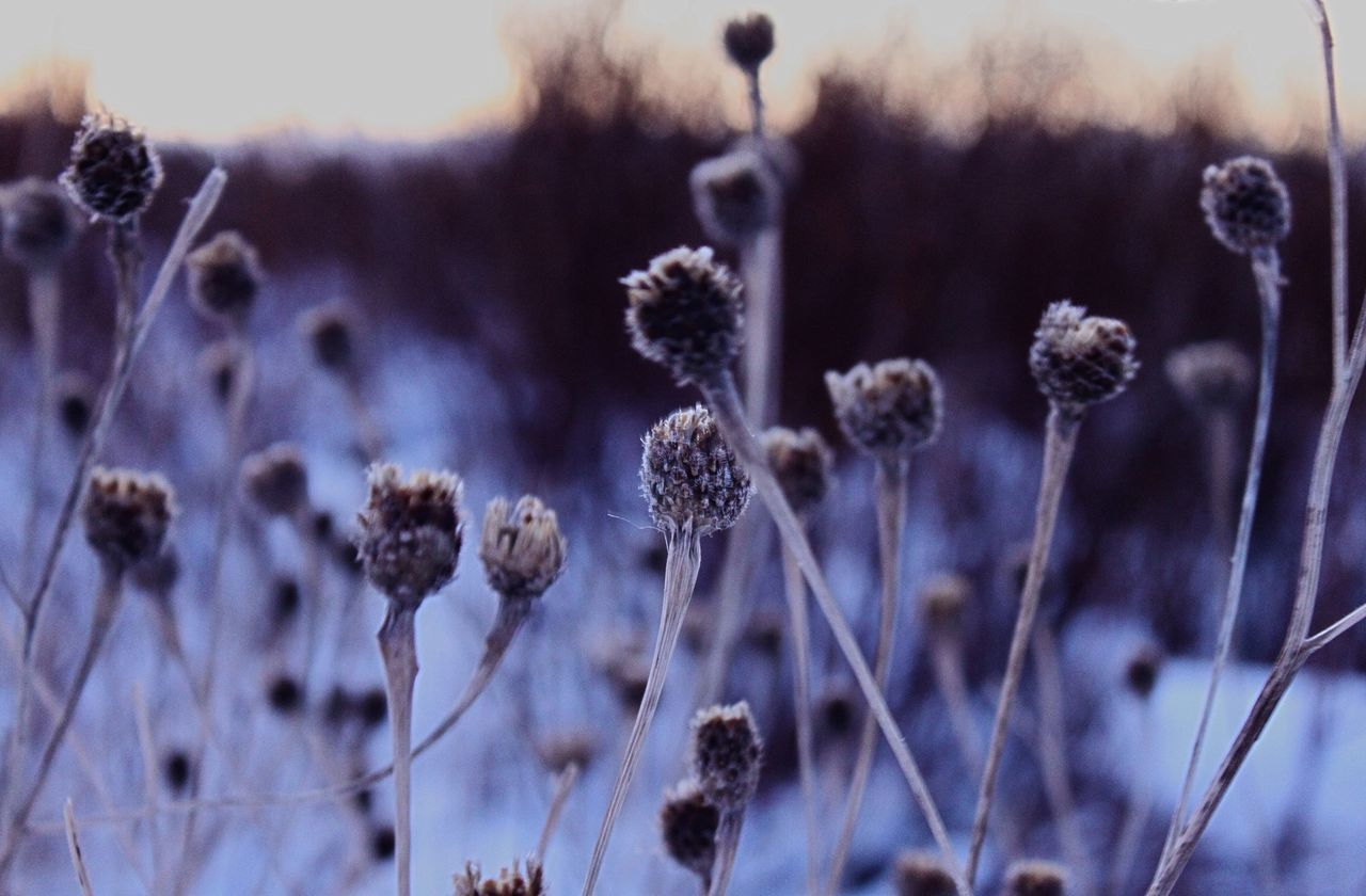 Cold Nature Growth Plant Beauty In Nature No People Outdoors Tranquility Field Close-up Fragility Day Cotton Plant