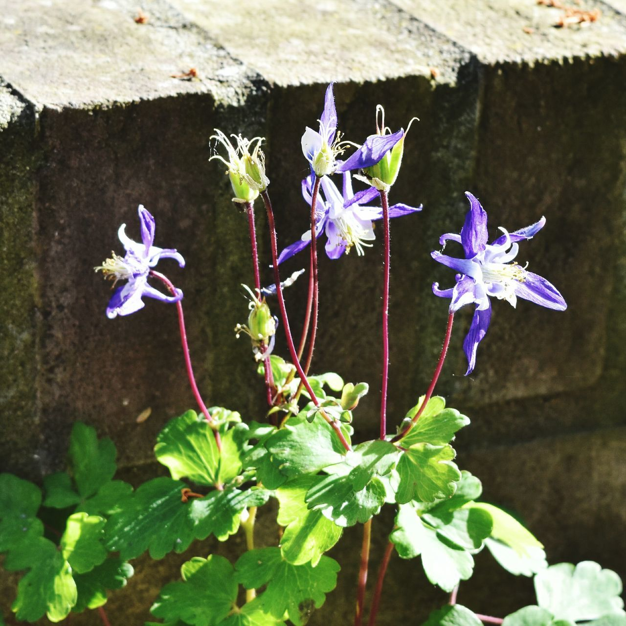 Aquilegia Spring Flowers Wild Flowers Outdoors Day Beauty In Nature Freshness Close-up Brick Wall Blue Flowers