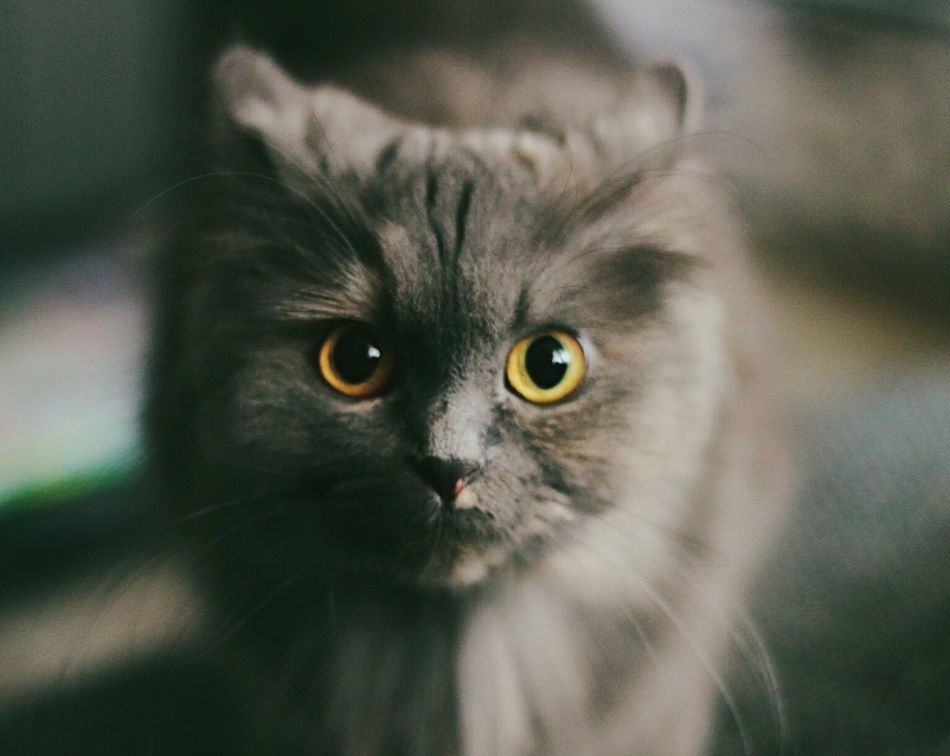 My love ♥️ Domestic Cat Feline Animal Themes Mammal One Animal Pets Domestic Animals Whisker No People Portrait Close-up Looking At Camera Yellow Eyes Indoors  Day Animal Cat Cute Dark