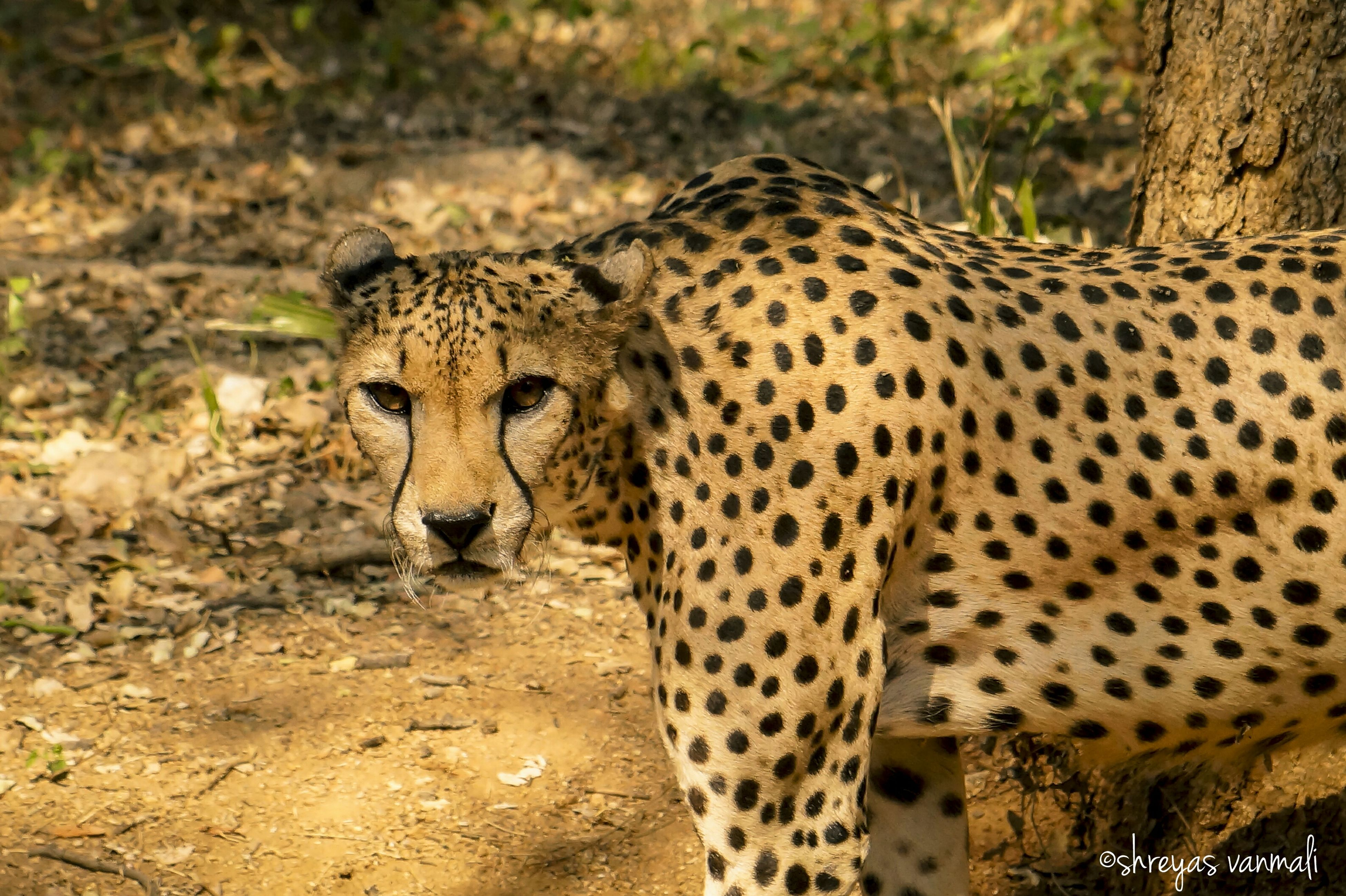 animal themes, animals in the wild, wildlife, one animal, mammal, safari animals, animal markings, zoo, spotted, forest, leopard, giraffe, animals in captivity, day, cheetah, focus on foreground, natural pattern, outdoors, nature, undomesticated cat