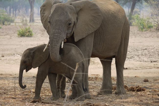 Animal Trunk Animals In The Wild Elephant Elephant Calf Herbivorous Mammal Mother & Daughter Motherly Love Nature Safari Animals Standing Togetherness Tusk Two Animals Wildlife Zoology