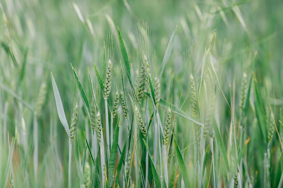 Agriculture Beauty In Nature Cereal Plant Close-up Crop  Day Ear Of Wheat Field Freshness Grass Green Green Color Growth Nature No People Outdoors Plant Portugal Rural Scene Wheat Wheat Wheat Field