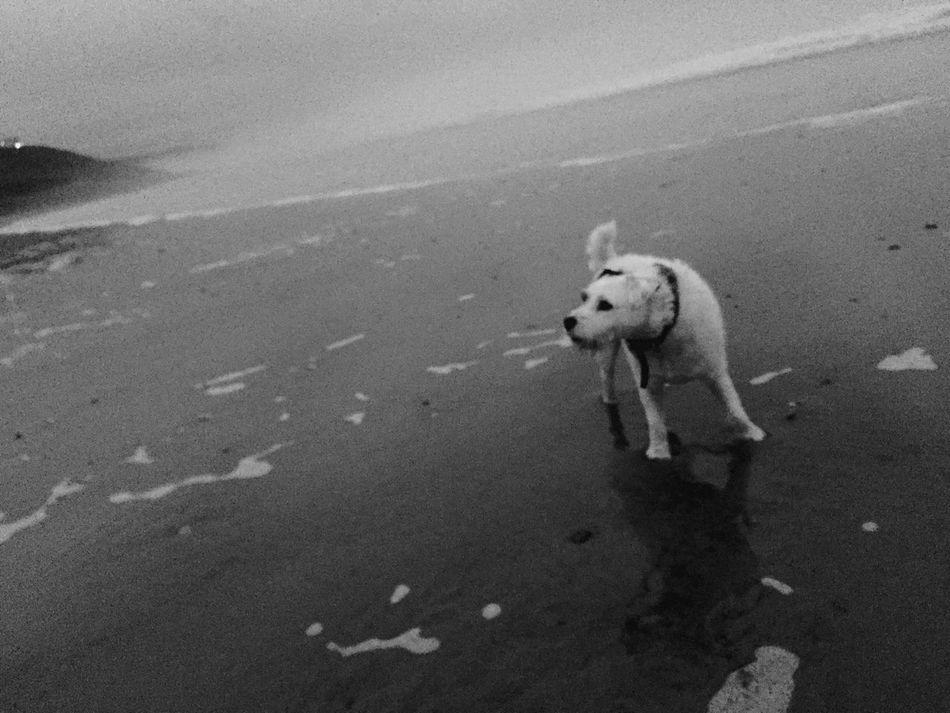 Dog Jack Russell Parsonsjackrussell Beach