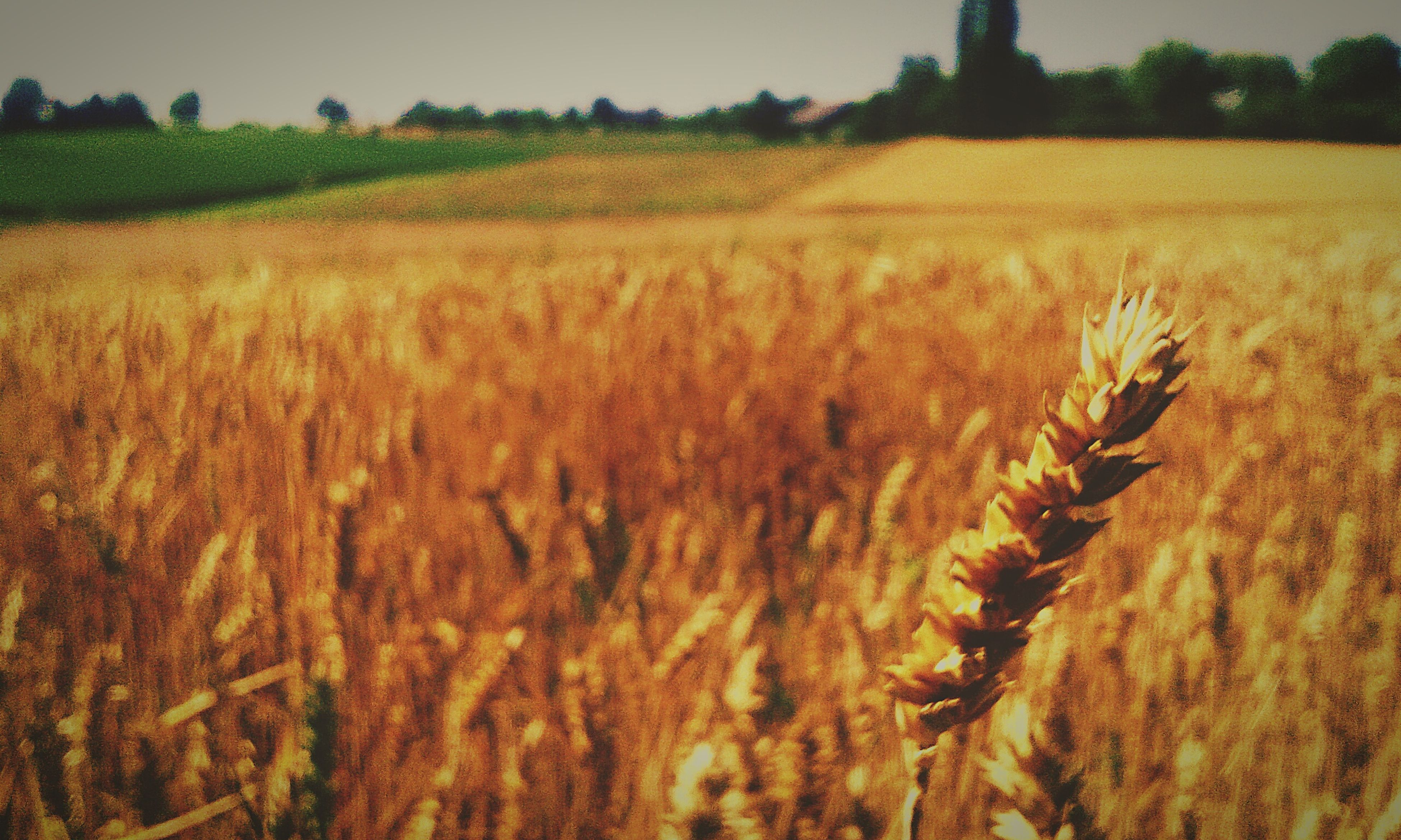 agriculture, field, rural scene, growth, landscape, crop, farm, tranquility, nature, tranquil scene, beauty in nature, cultivated land, plant, cereal plant, yellow, wheat, scenics, dry, outdoors, selective focus