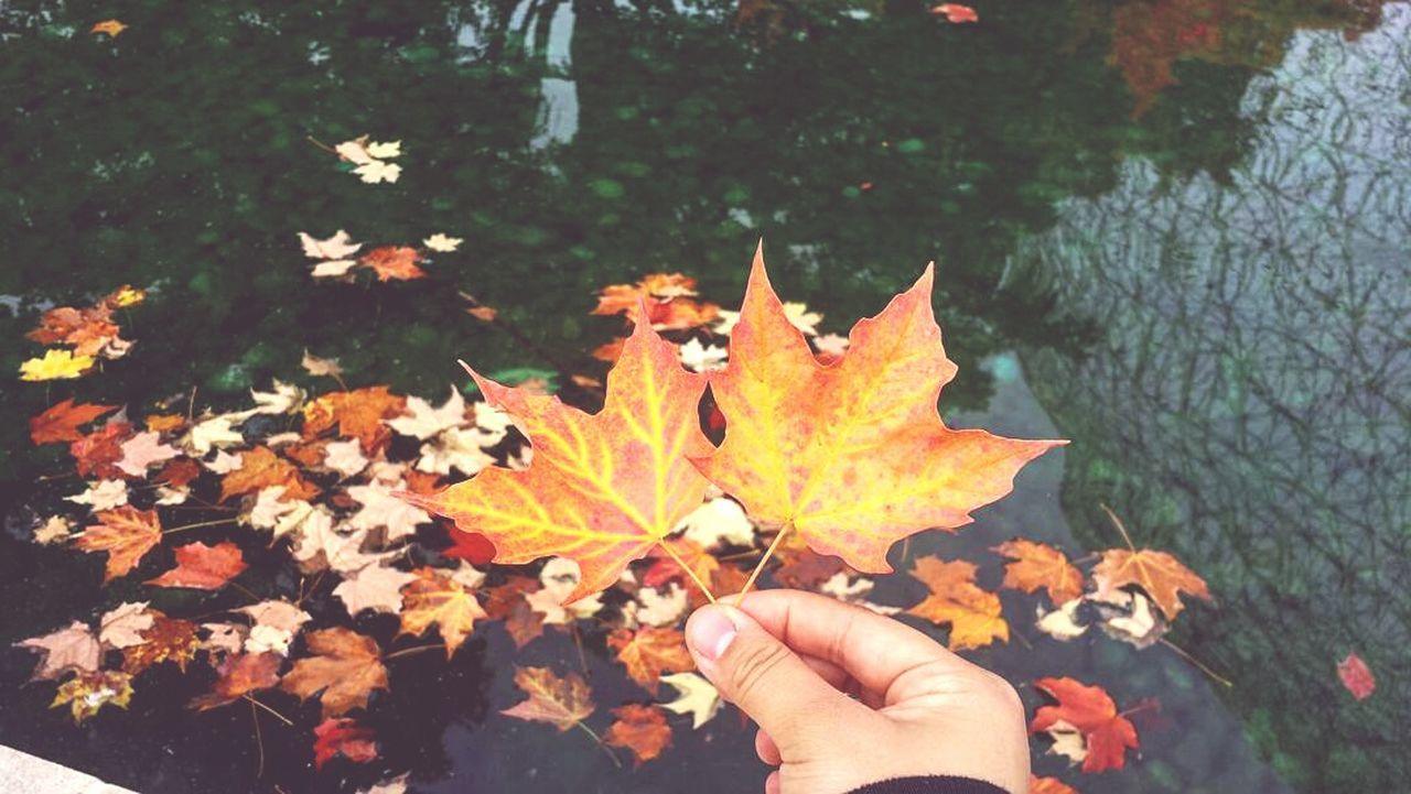 leaf, autumn, change, human hand, maple leaf, human body part, nature, leaves, outdoors, real people, maple, personal perspective, day, beauty in nature, holding, one person, park - man made space, tree, close-up, fragility, animal themes, people