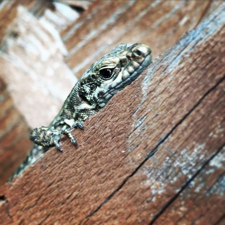 Wood - Material Reptile One Animal Animal Themes Animal Wildlife Animals In The Wild Day Lizard Textured  Outdoors No People Close-up Gecko (null) Bearded Dragon Nature Hideandseek Watching Animals Animal