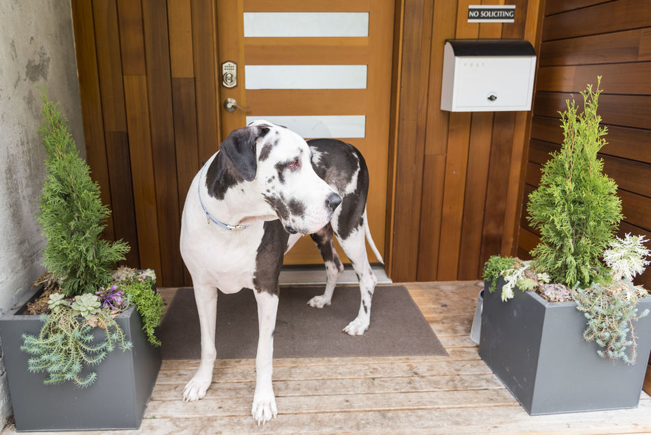 Home Security System Animal Themes Day Dog Domestic Animals Flower Front Door Great Dane Guard Dog Harlequin Home Mailbox Mammal Nature No People One Animal Outdoors Pet Pets Plant Potted Plant Security System