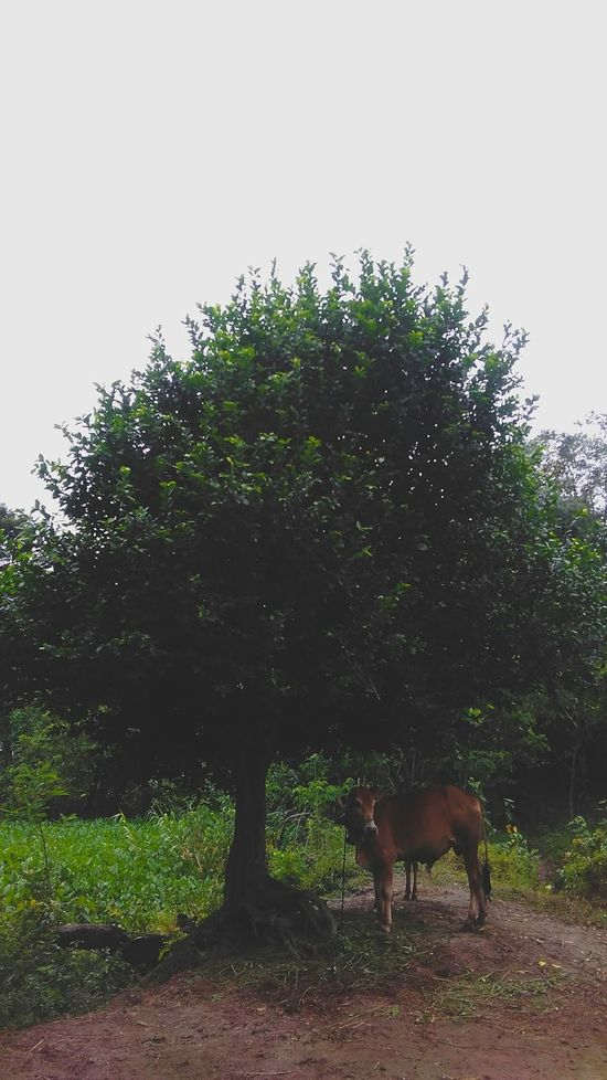 Tree No People Animal Themes Domestic Animals Comilla, Bangladesh