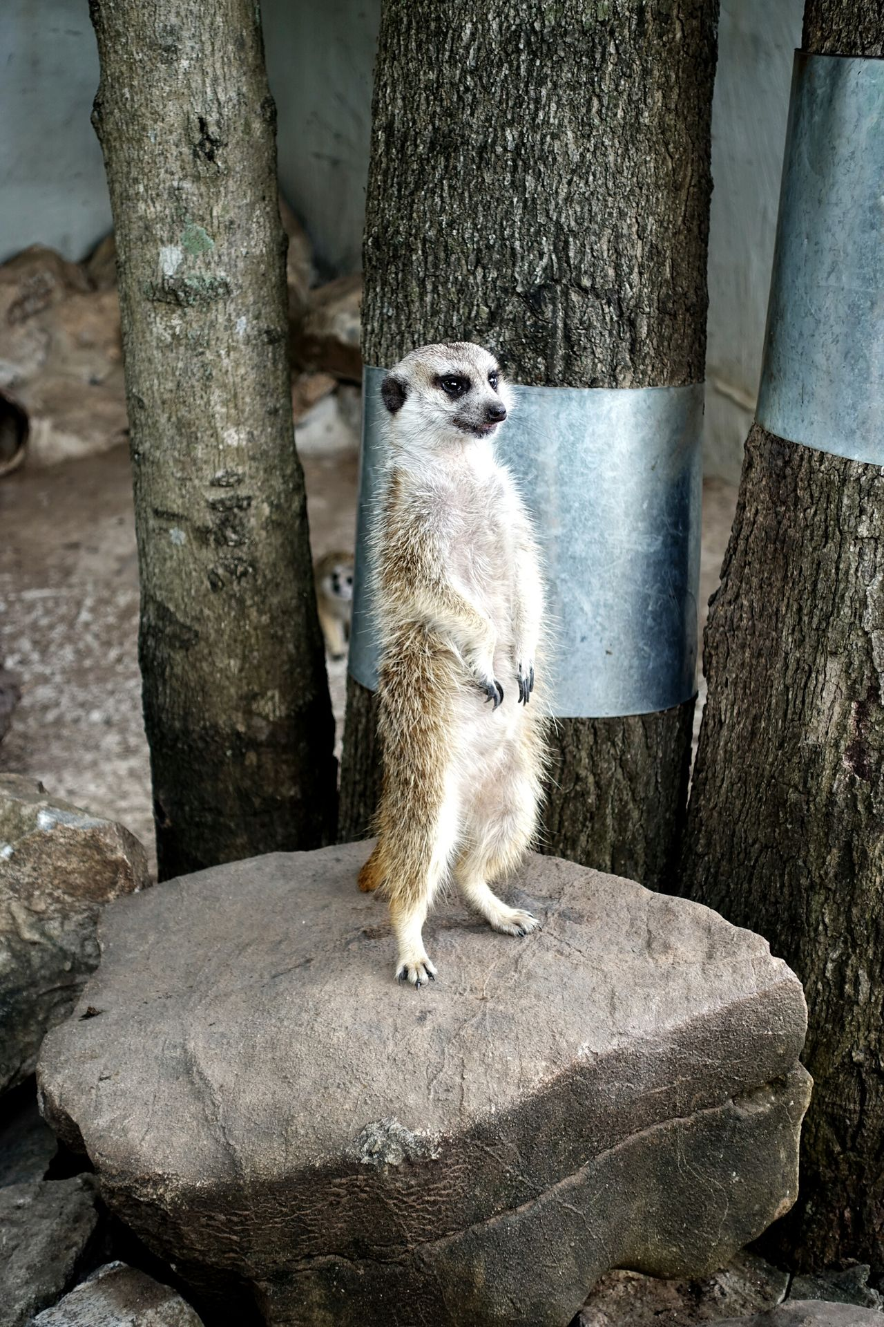 Animal Themes One Animal Animals In The Wild Animal WildlifeTree Trunk Outdoors Mammal No People Meerkat Nature Day