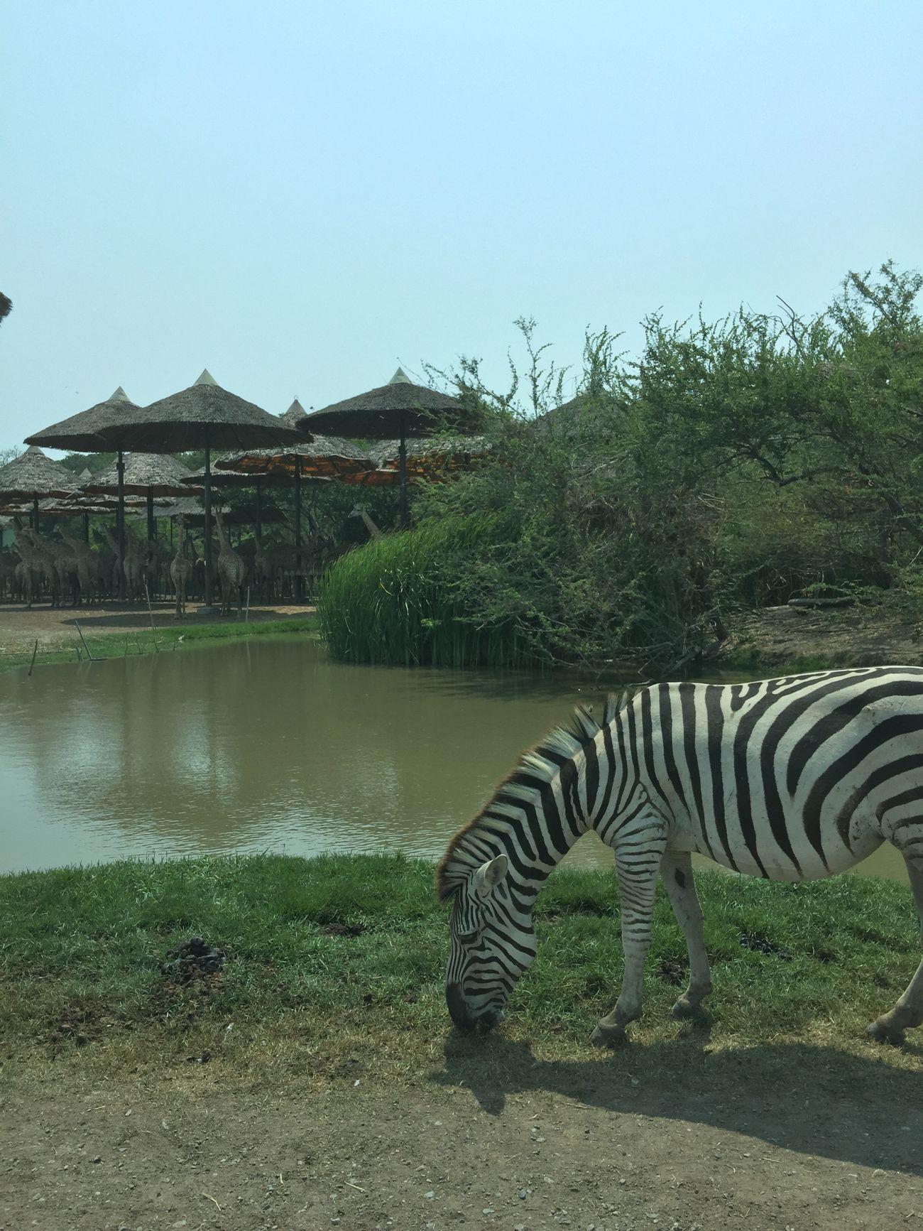 Zebra Zoo IPhoneography