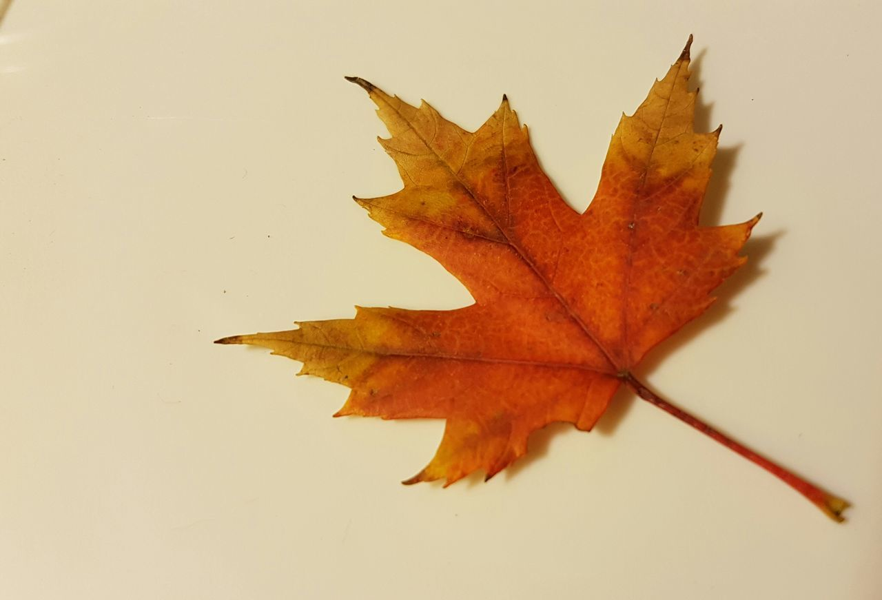 Autumn Maple Leaf Leaf Change Autumn Season  Maple Leaf Orange Color Close-up Leaf Vein Natural Condition Close Up Nature Eye4photography  EyeEmBestPics Macro Photography Mobile Photography EyeEm Best Shots EyeEm Market © Eyeem Market Team Eyeem Marketplace Eyeem Canada EyeEm Gallery EyeEm Nature Lover Eyeem Collection Single Object Selective Focus Macrophotography