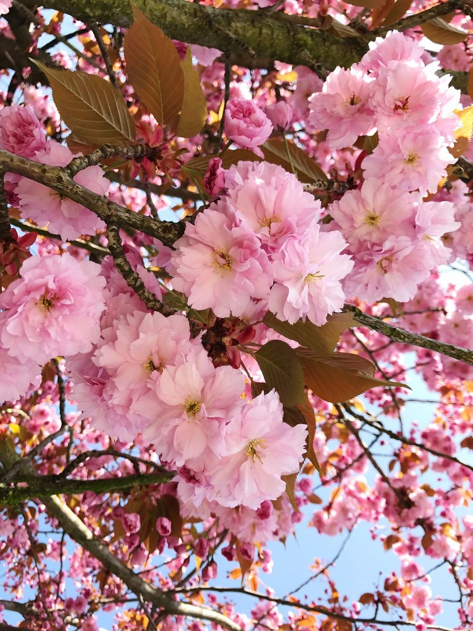 Cherry Blossoms Cherry Blossom Cherry Tree Cherry Blossom Tree Spring Fragility Pink Color Nature Beauty In Nature Growth No People Outdoors Springtime Blooming