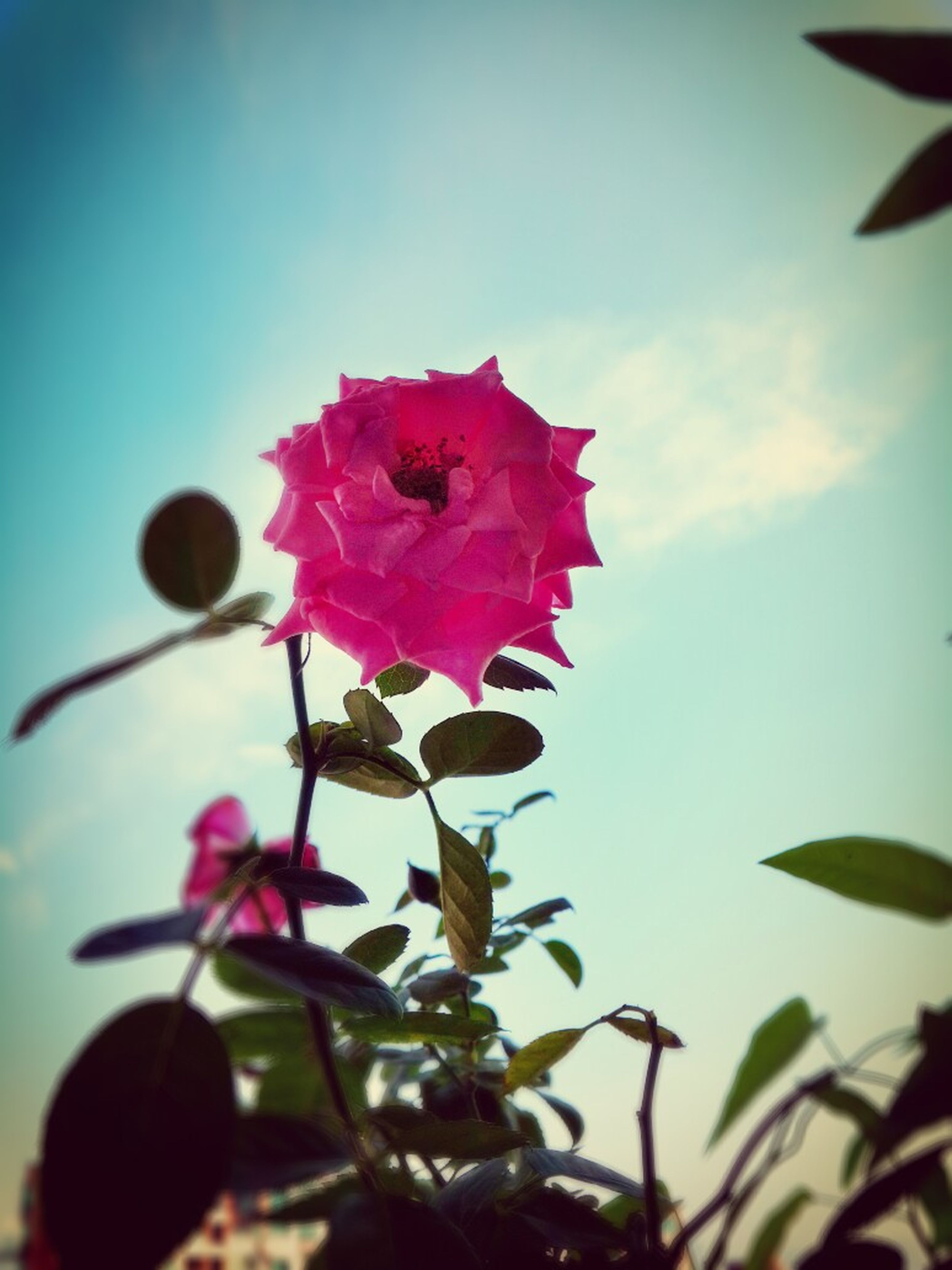 flower, growth, freshness, fragility, beauty in nature, petal, close-up, nature, low angle view, leaf, flower head, focus on foreground, sky, red, plant, in bloom, blooming, selective focus, blossom, pink color