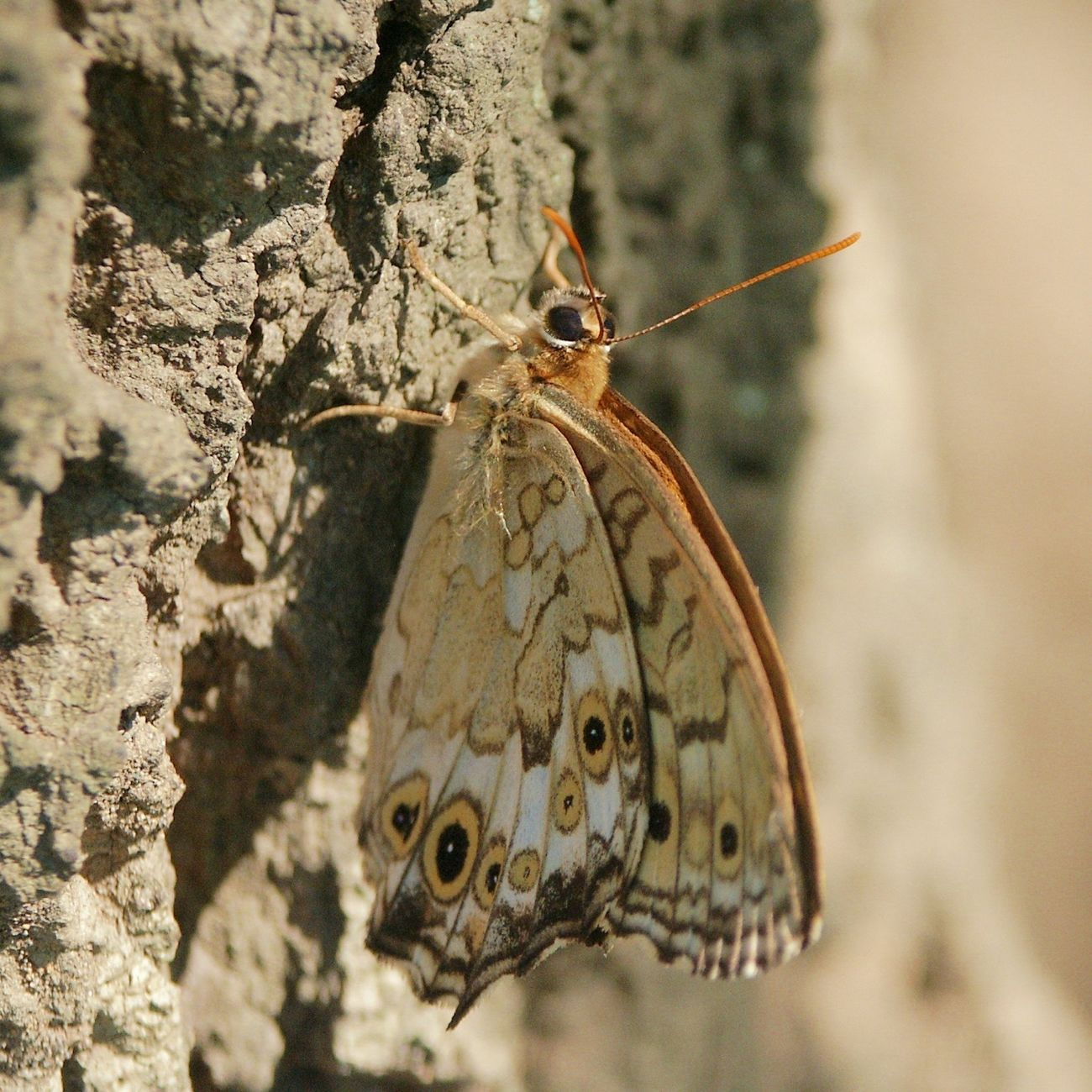 _Neope goschkevitschii_ Satyr Grayling Butterfly Insects
