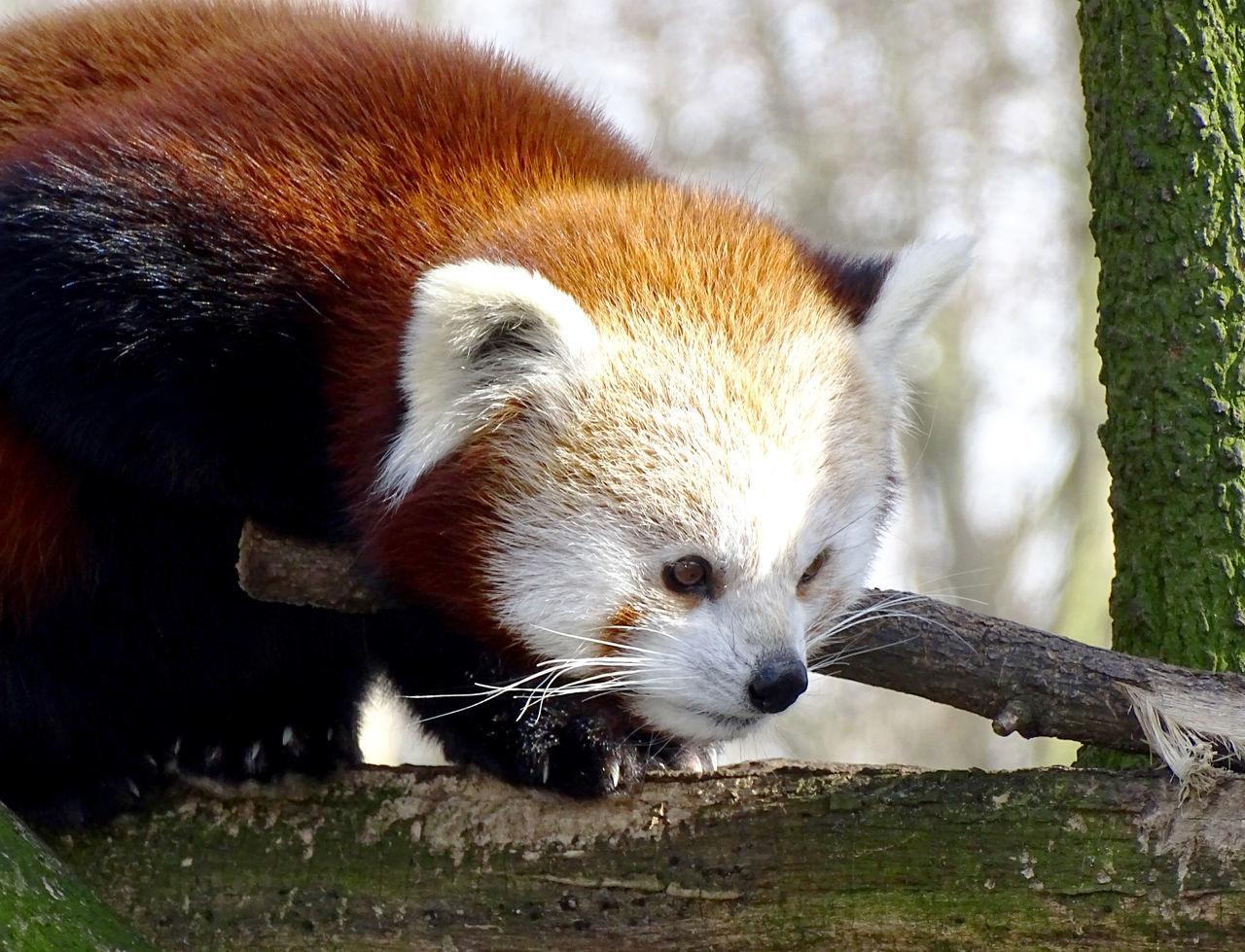 Red Panda Animal Themes One Animal Mammal Nature Amimal Animal Photography Zoo Animals  Animal_collection Animal Head  Animal Portrait EyeEm Gallery EyeEm Best Shots