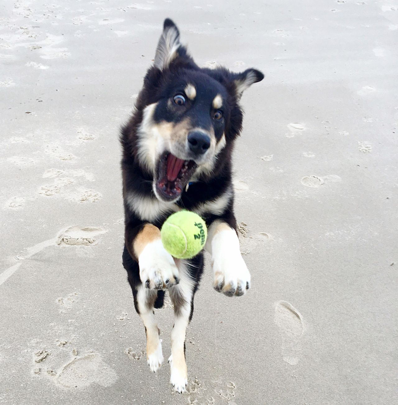 Dog Pets Domestic Animals Animal Themes Mammal One Animal Portrait Ball No People Day Outdoors Beach Nature Carrying In Mouth Stopmotion