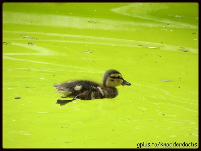 Ente Duck Animals Tiere