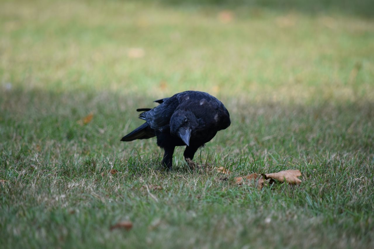 Grass Selective Focus One Animal Animal Themes Field Black Color Day Nature Zoology Raven - Bird Crow Simple Things In Life Focus On Foreground Outdoors Nature Bird Dramatic Angles Colour And Patterns Focus Objects