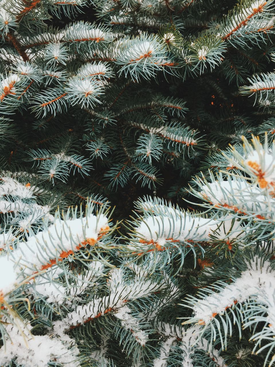 nature, close-up, growth, no people, cactus, outdoors, high angle view, day, full frame, needle - plant part, green color, backgrounds, christmas tree, beauty in nature, snow, plant, cold temperature, needle, winter, christmas decoration
